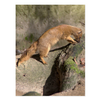 Yellow Mongoose Postcard