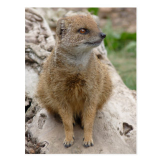Yellow mongoose postcard
