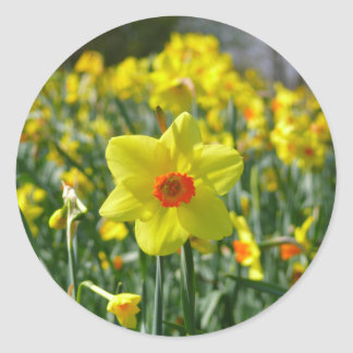 Yellow orange Daffodils 01.0.2 Classic Round Sticker