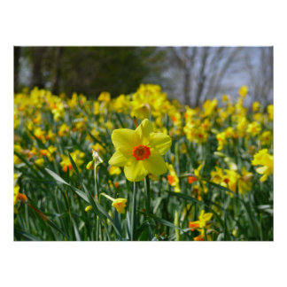 Yellow orange Daffodils 01.0 Poster