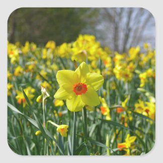 Yellow orange Daffodils 01.0 Square Sticker