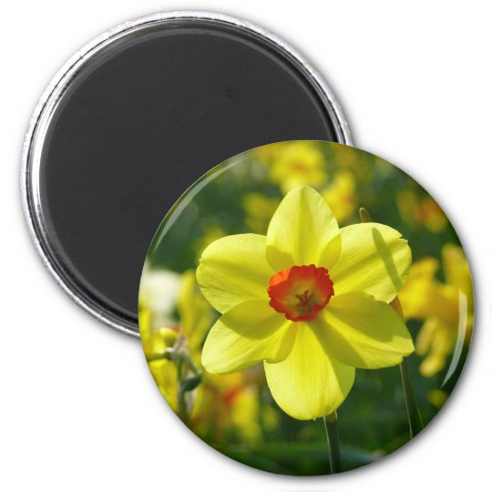 Yellow orange Daffodils 02.1g 2 Inch Round Magnet