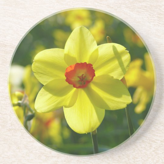 Yellow orange Daffodils 02.1g Coaster