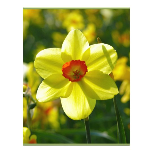 Yellow orange Daffodils 02.1g Letterhead