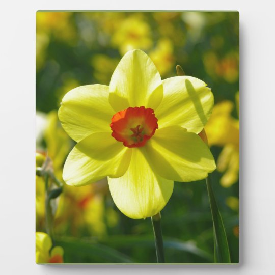 Yellow orange Daffodils 02.1g Plaque
