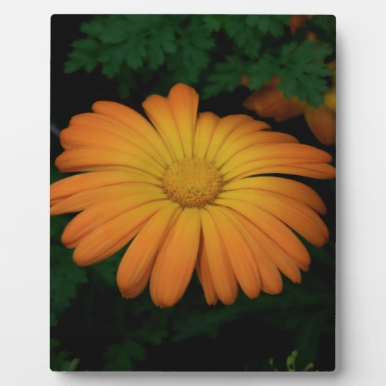 Yellow orange daisy flower photo plaque