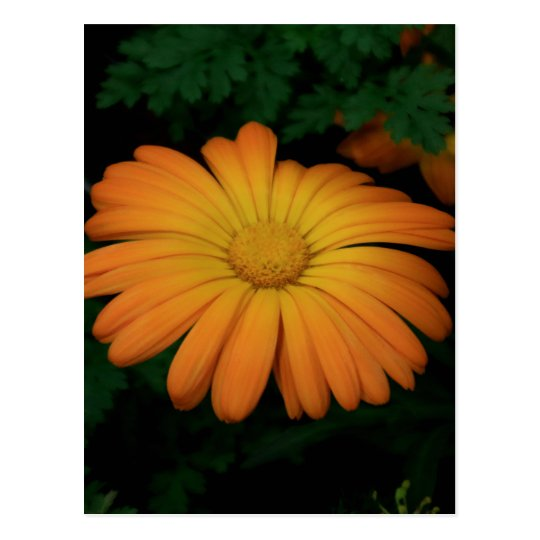 Yellow orange daisy flower postcard