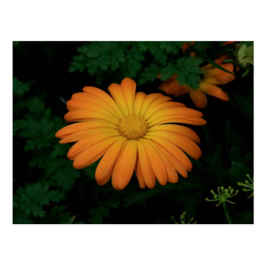 Yellow orange daisy flower postcard