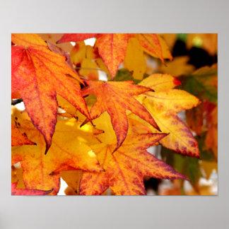 Yellow & Orange Maple Leaves Poster