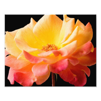 Yellow Pink Rose Flower Black Background Floral Art Photo