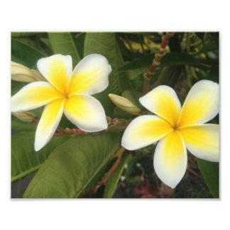 Yellow Plumeria Photograph