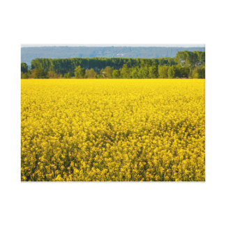 yellow rapeseed flowers illuminated by sun canvas