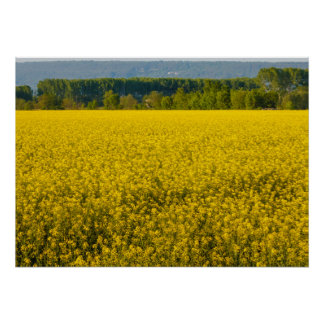 yellow rapeseed flowers illuminated by sun poster