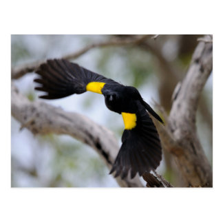 Yellow-shouldered Blackbird in Flight Postcard