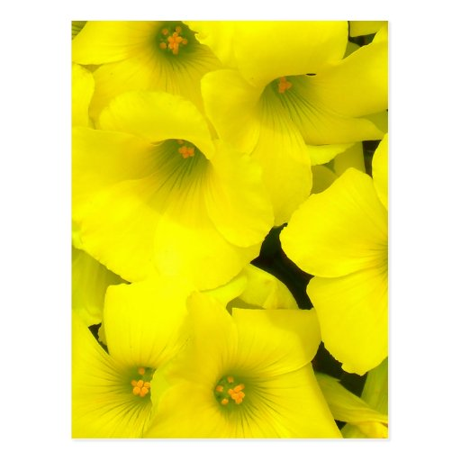 Yellow spring flowers in the garden postcards