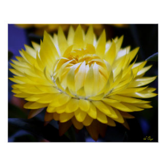 Yellow Strawflower Poster, S Cyr Poster
