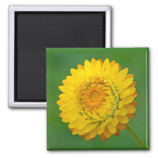 Yellow Strawflower Square Magnet