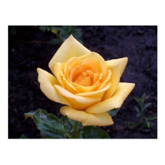 Yellow Summer Rose Postcard