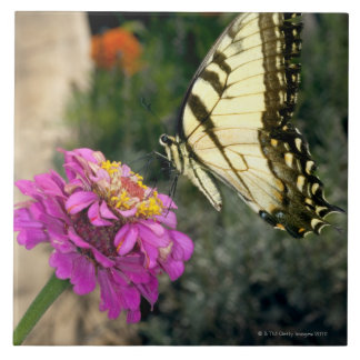 Yellow swallowtail butterfly perches on a zinnia ceramic tile