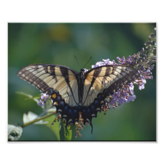 Yellow Swallowtail Butterfly Photo Print