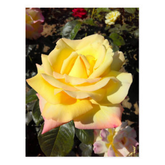 Yellow Tea Roses Postcard