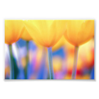 Yellow Tulips with Blue Photo Print