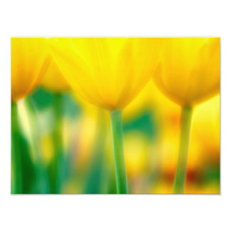 Yellow Tulips with Green Photo Print