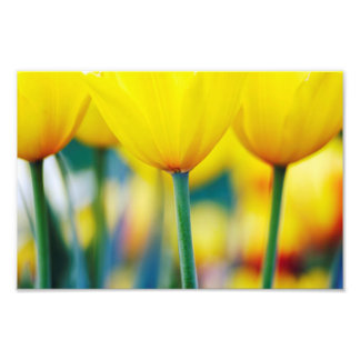 Yellow Tulips with Turquoise Photo Print
