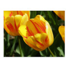 Yellow Variegated Tulip Postcard