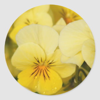 Yellow Violas (Pansies) Classic Round Sticker