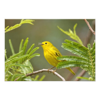 Yellow Warbler Dendroica petechia) adult Photographic Print