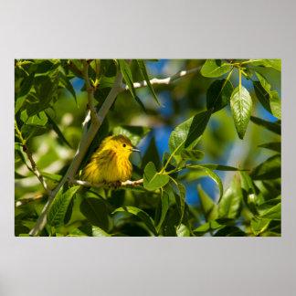 Yellow Warbler In Tree Near Augusta, Montana Poster