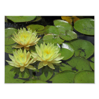 Yellow water lilies in the pond at the mission poster