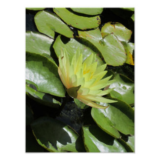 Yellow water lily in a pond poster