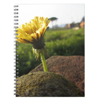 Yellow wildflower growing on stones at sunset notebooks