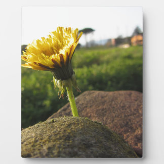 Yellow wildflower growing on stones at sunset plaque