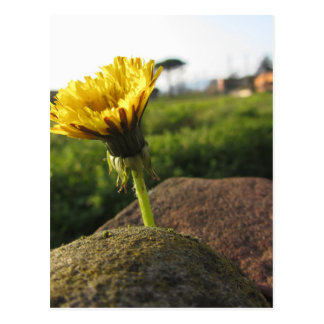 Yellow wildflower growing on stones at sunset postcard
