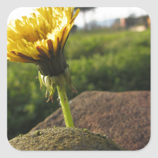 Yellow wildflower growing on stones at sunset square sticker