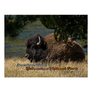 Yellowstone - American Bison poster