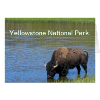 Yellowstone Bison Drinking in Lake Card