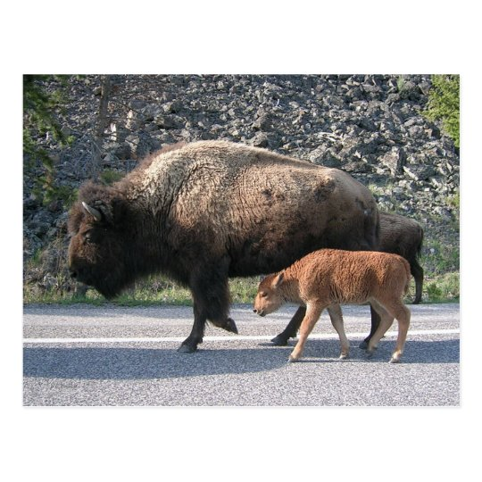 Yellowstone Buffalo Postcard