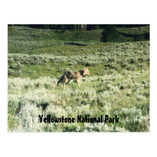 Yellowstone Coyote Postcard