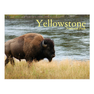 Yellowstone National Park, Bison Postcard
