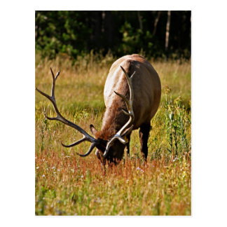 yellowstone national park, elk postcard