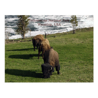 Yellowstone National Park Postcards Bison Winter