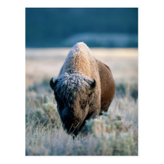 Yellowstone National Park, Wyoming, USA Postcard