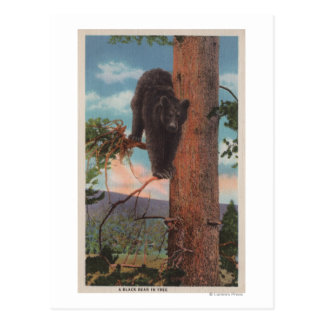 Yellowstone, WYView of Black Bear in Tree Postcard