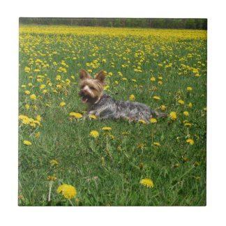 Yorkie in the spring tile