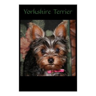 Yorkie  poster