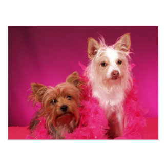 Yorkies and Pink Boas Postcard